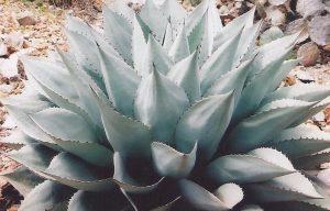 ovatifolia3