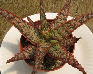 """Rancho Tissue Tech """"Aloe Piranha"""""""