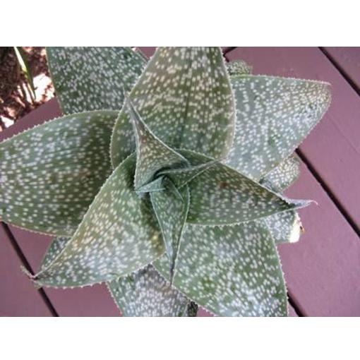 Aloe Deltoidantes