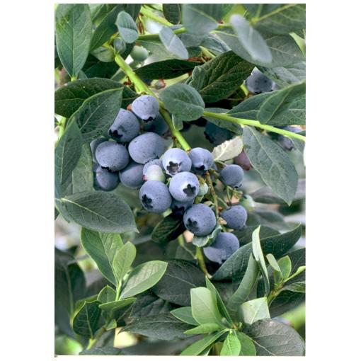 Rancho Tissue Tech Blueberry