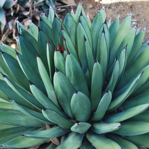 AGAVE hyb.'Little Shark'