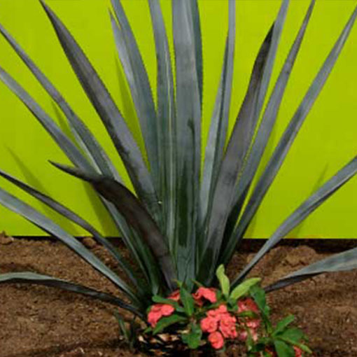 AGAVE tequilana 'Blue'