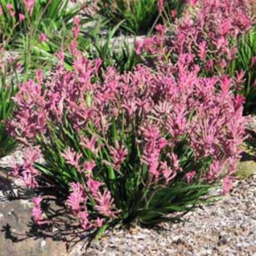 ANIGOZANTHOS 'Dwarf Pink' (Bush Pearl)