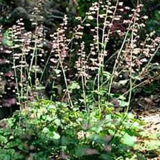 HEUCHERA hyb.'Wendy' (Coral Bells)