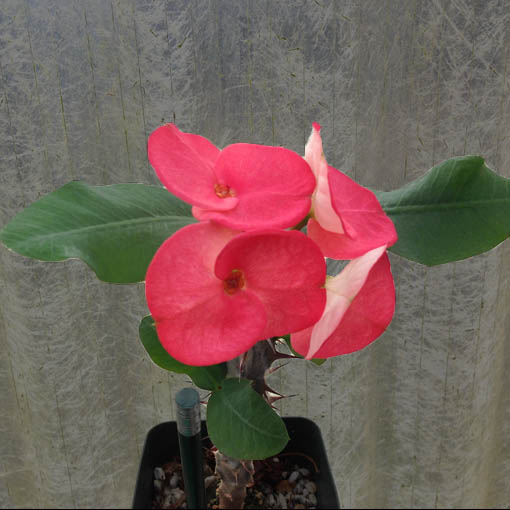 EUPHORBIA milii 'Supergrandiflora' (10 Colors)