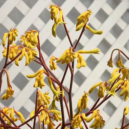 ANIGOZANTHOS 'Harmony' yellow flr