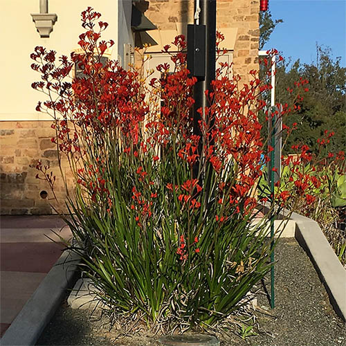 Anigozanthos Firehouse Orange Tall